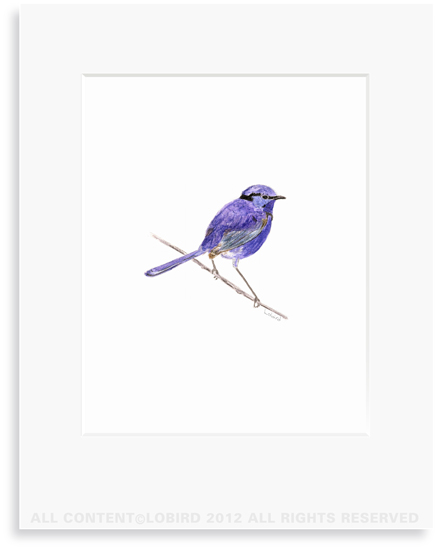 Purple Wren